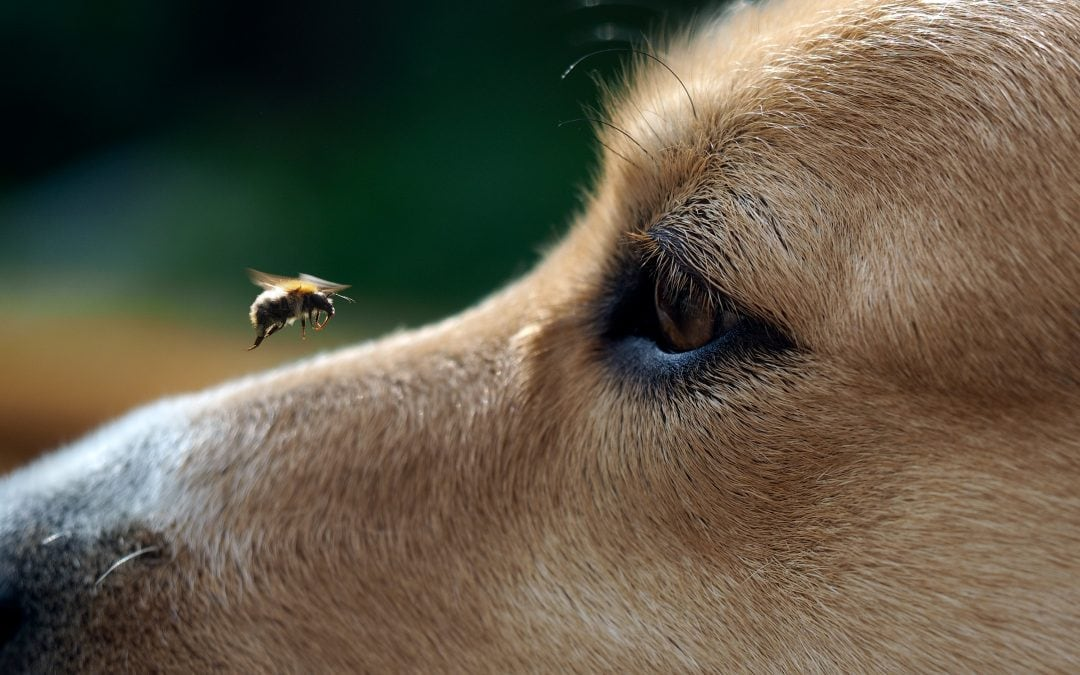 What to do when your dog or cat has been stung by a bee