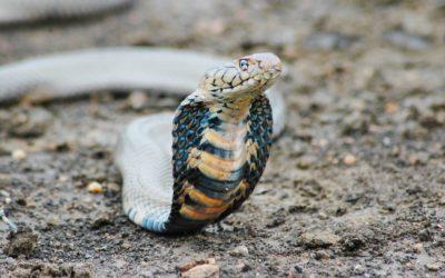 Snake venom in eyes